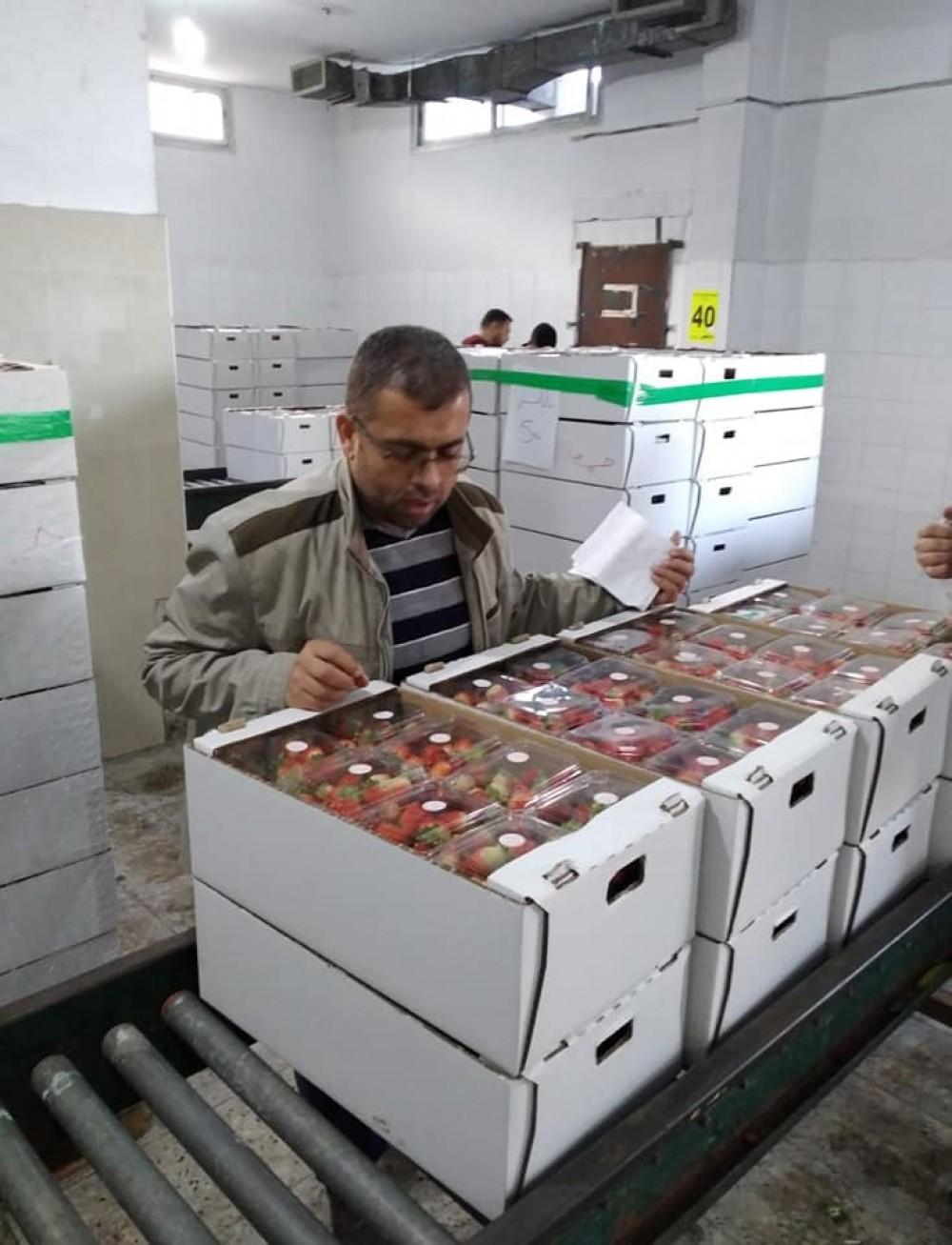 وزارة الزراعة تفحص 65 طناً من الفراولة قبل تسويقه للضفة الغربية