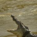 الخبراء الأستراليون فشلوا في تحرير التمساح من الإطار العالق حول عنقه