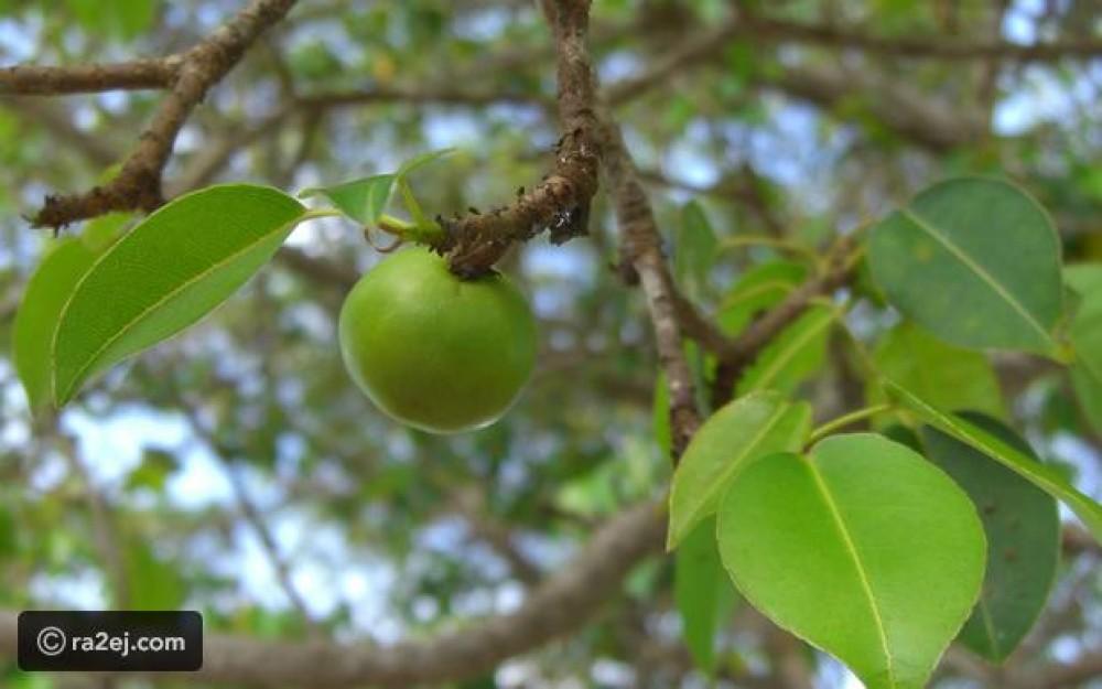 شجرة الموت: انتشارها السبب وراء الكوارث التي شهدها العالم فاحذر منها