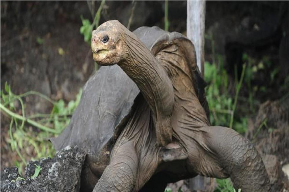 إعادة توطين سلحفاة رقبة الأفعى المهددة بالانقراض بجزيرة إندونيسية