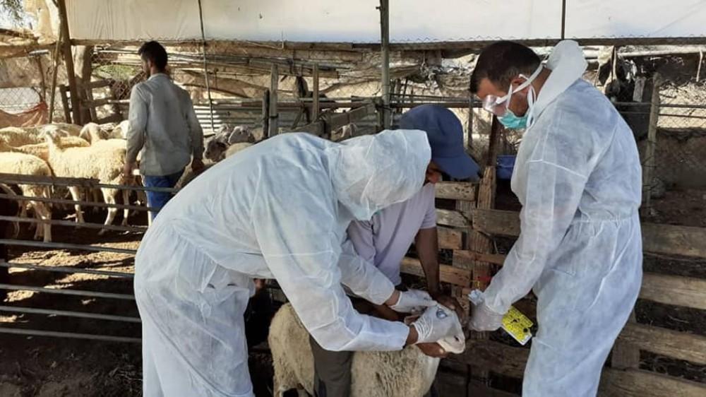 الزراعة: استمرار حملة التطعيم ضد
