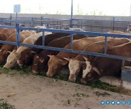 جولة تفقدية تنظمها وزارة الزراعة في مراعي العجول... تصوير   مدحت حجاج
