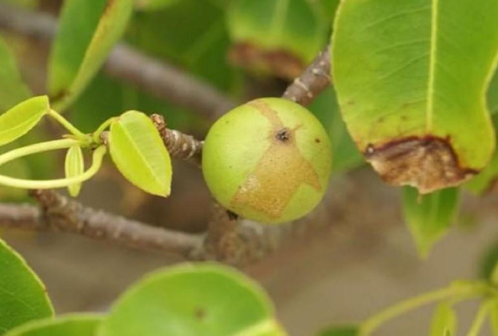 أخطر شجرة في العالم: تفاحة الموت الصغيرة