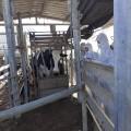 الزراعة تواصل فحص الأبقار الواردة من الخارج  بمحجرها البيطري