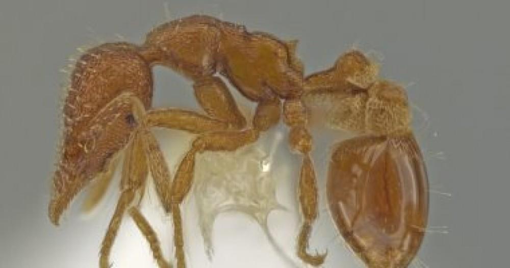 العثور على نوع جديد من النمل