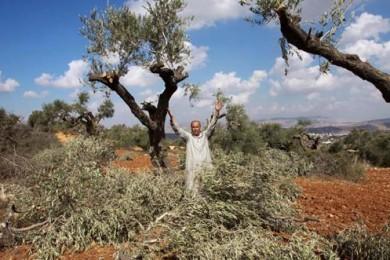 مستوطنون يقتلعون أشتال زيتون في نابلس المحتلة