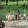 شرطة فلوريدا ترافق عائلة من البط إلى بحيرة