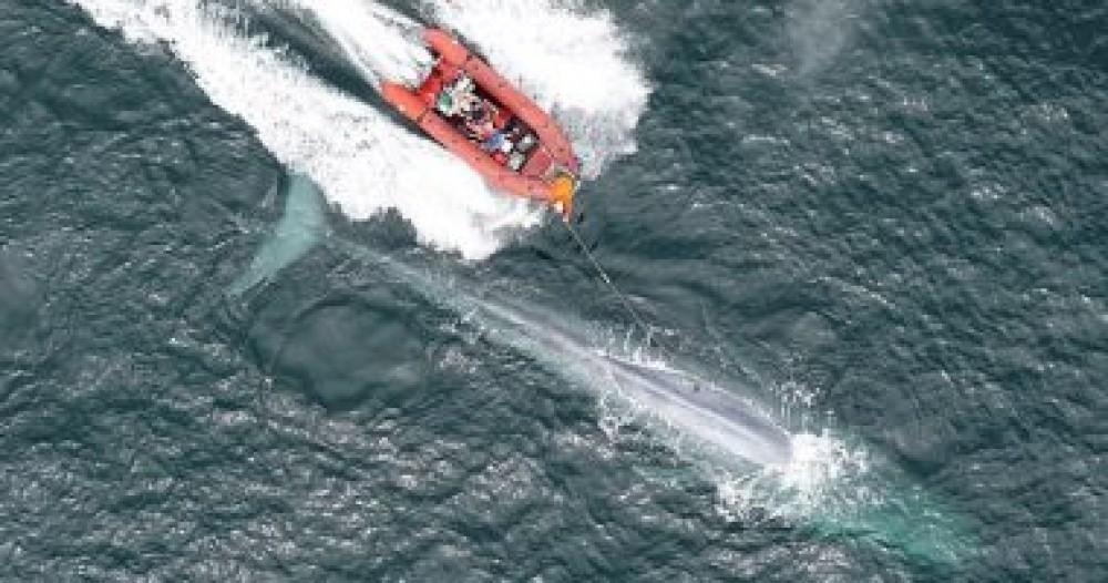 الحوت الأزرق يدق قلبه مرتين فقط بالدقيقة فى هذه الحالة