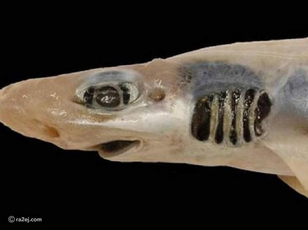اكتشاف نوع غريب من سمك القرش بدون جلد: ظاهرة تحدث لأول مرة