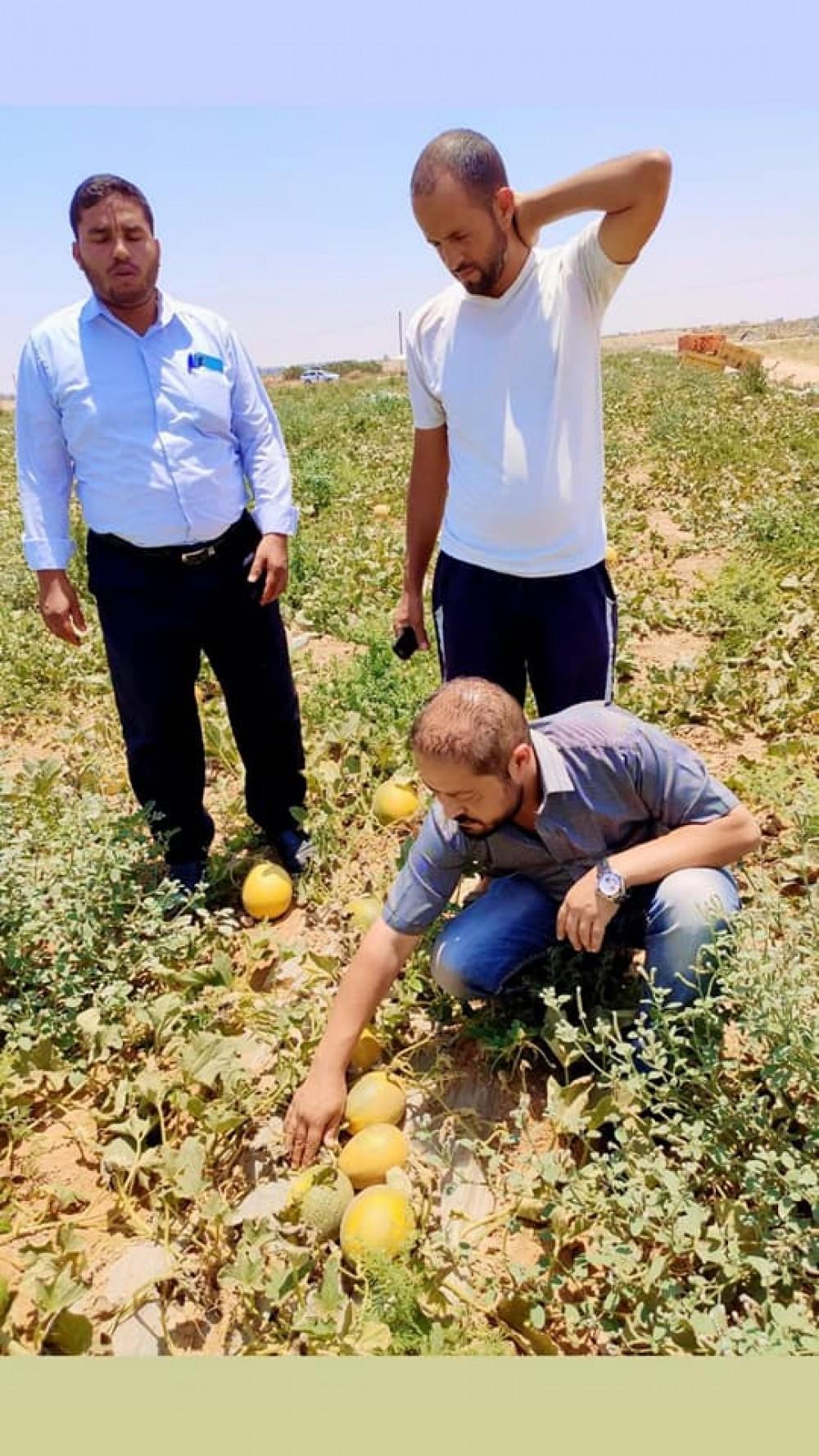 زراعة خانيونس تنظم جولة ميدانية للتعرف علي أصناف الشمام الجديدة