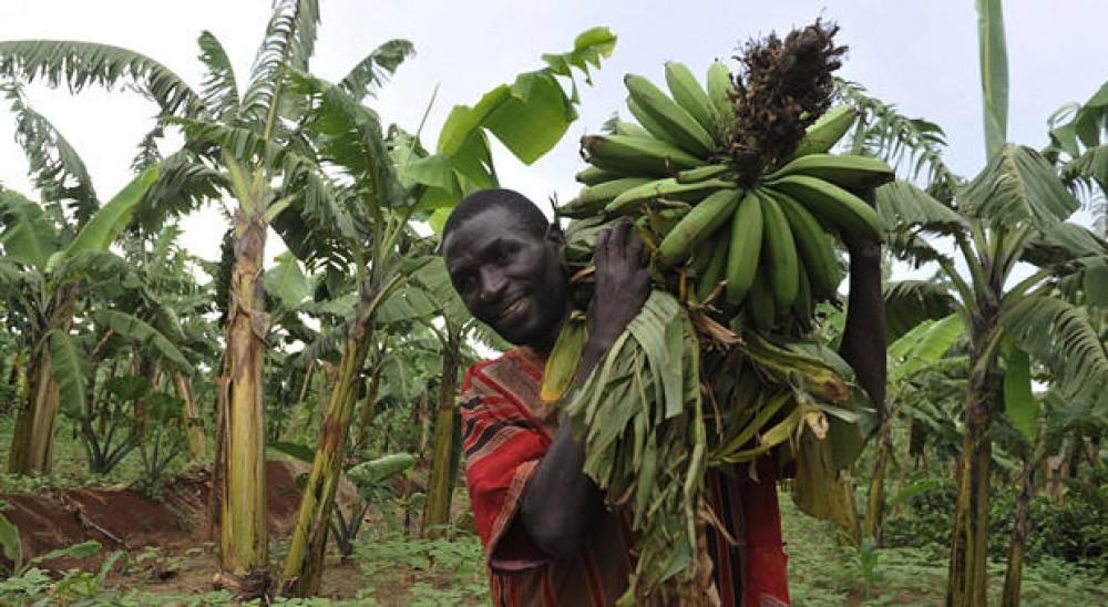 استخدام تقنيات الذكاء الاصطناعي لحماية محاصيل مزارعي الموز
