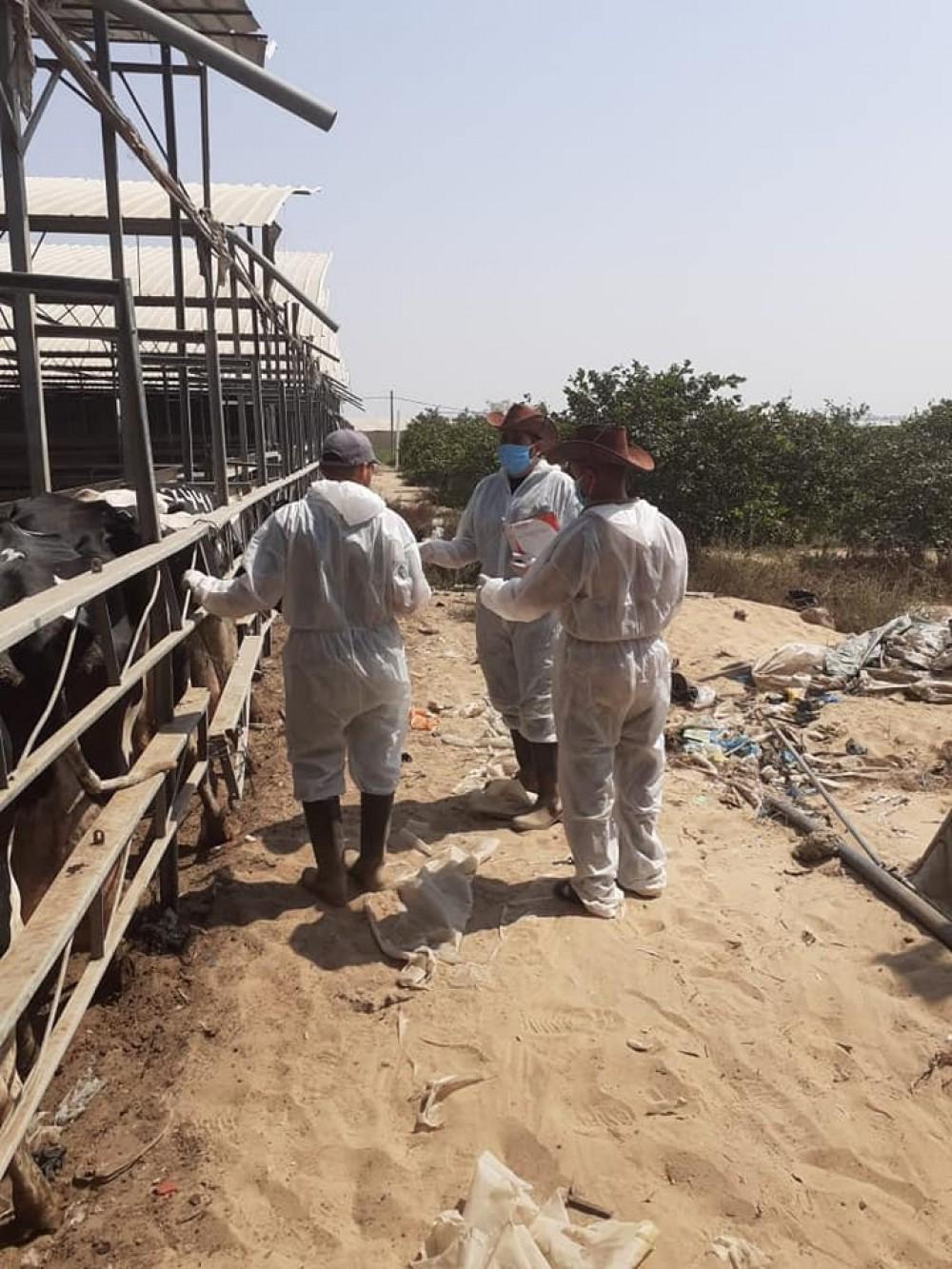 الزراعة: المحجر البيطري يستقبل (200) رأس من الأبقار لفحصها