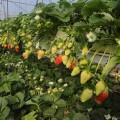 الزراعة تقدم إرشادات هامة لمزارعي الفراولة الأرضية والمعلقة