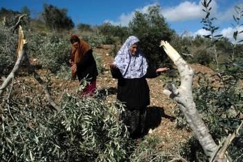 الاحتلال يقطع عشرات أشجار الزيتون في نابلس