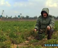 أضرار وخسائر المزارعين بسبب تعمد الاحتلال رش المبيدات السامة شرق قطاع غزة  تصوير/ مدحت حجاج