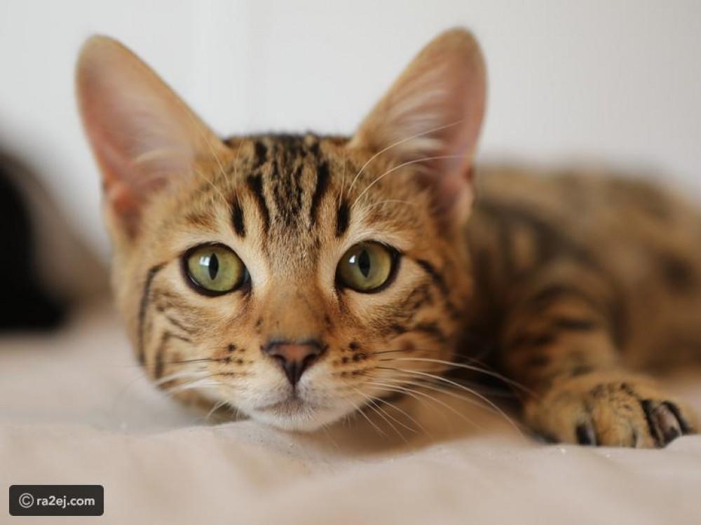 القبض على قطة ووضعها في السجن: قامت بجريمتها أكثر من مرة