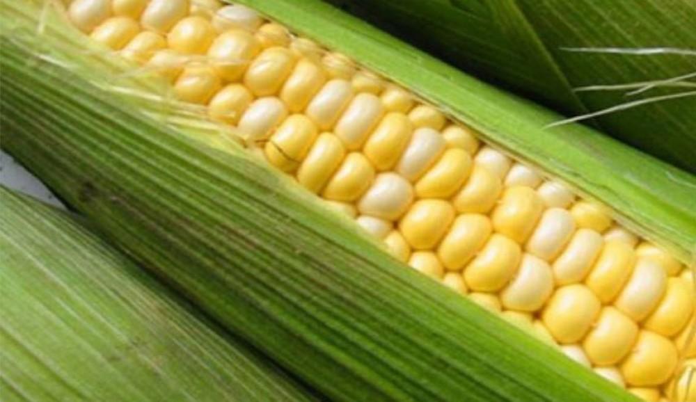 تعرف على سبب صعوبة هضم الذرة في الجسم