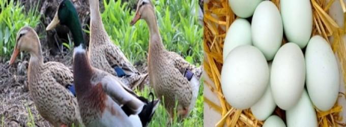 بيض البط... فوائده كثيرة وأضرار أخطر للبعض!