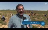 وزارة الزراعة تفتتح موسم البصل في قطاع غزة