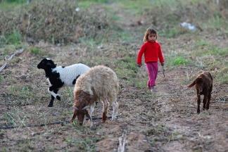 طفلة تسير بين قطيع من الماشية في أحد الحقول الزراعية شمال قطاع غزة. تصوير: عطية درويش