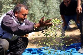 #صور  موسم قطف الزيتون في قطاع غزة. تصوير  علاء السراج
