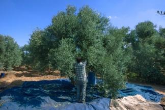 مشاهد من أجواء قطف ثمار الزيتون بغزة